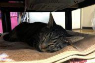 無事に帰宅した日のにゃあ。物音には敏感になっていたものの、食事を終えた後にぐっすり眠った=飼い主提供