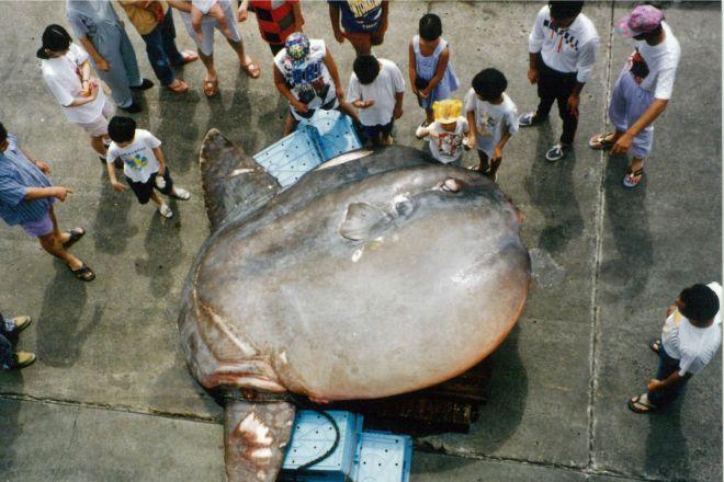 「世界最重量の硬骨魚」は「マンボウ」ではなく……。