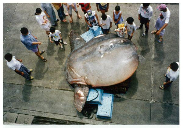 「世界最重量の硬骨魚」と認定された2.3トンのウシマンボウ