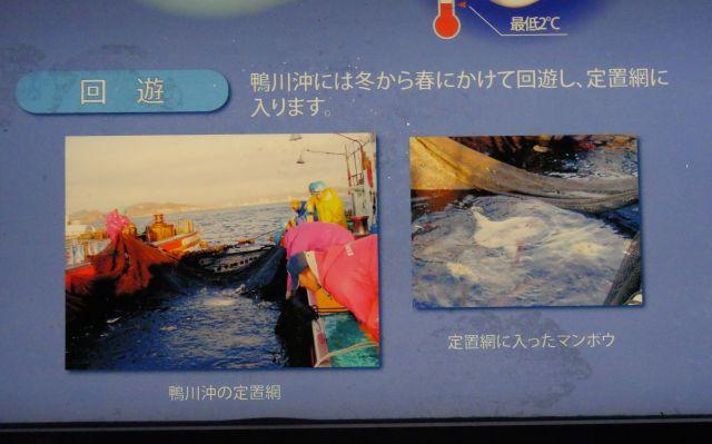 鴨川沖の定置網漁のようす=鴨川シーワールドの説明パネルより