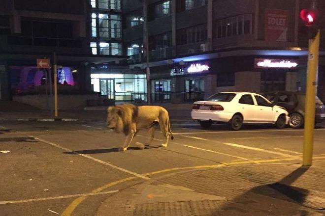 南アフリカのヨハネスブルク中心部を歩くライオン