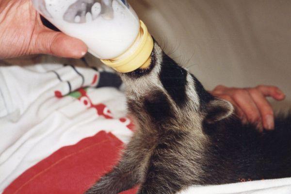猫用ミルクを飲む、赤ちゃんだった頃の「ぺー太」。ペットショップに育て方を聞いても、ほとんど具体的なアドバイスはしてくれなかったという=さとうさん提供