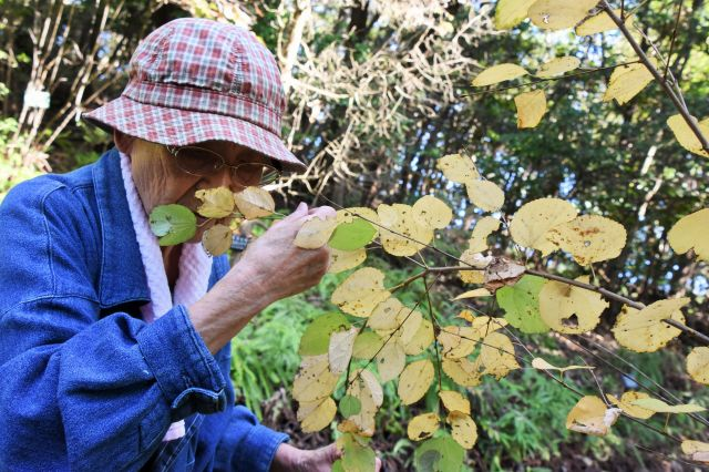 カツラの葉をかぐ、並川さん=11月、名古屋市千種区の東山動植物園