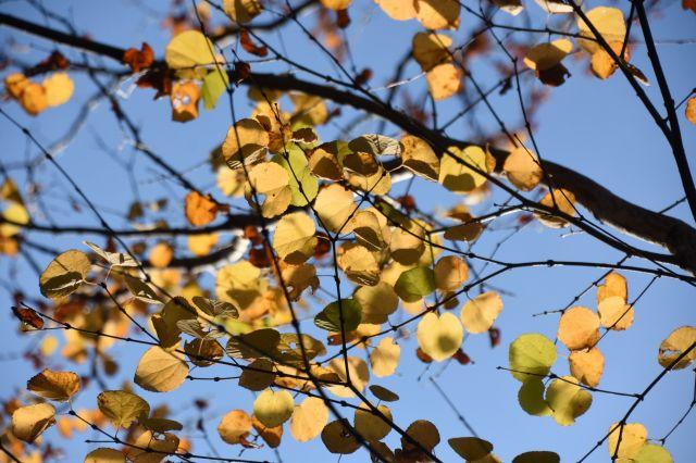 葉はハートの形=11月、名古屋市千種区の東山動植物園