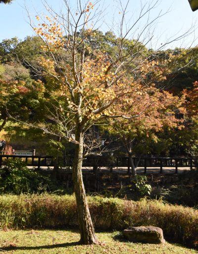 東山動植物園のカツラの木。写真は11月上旬時点で、葉はすでに散ってしまった