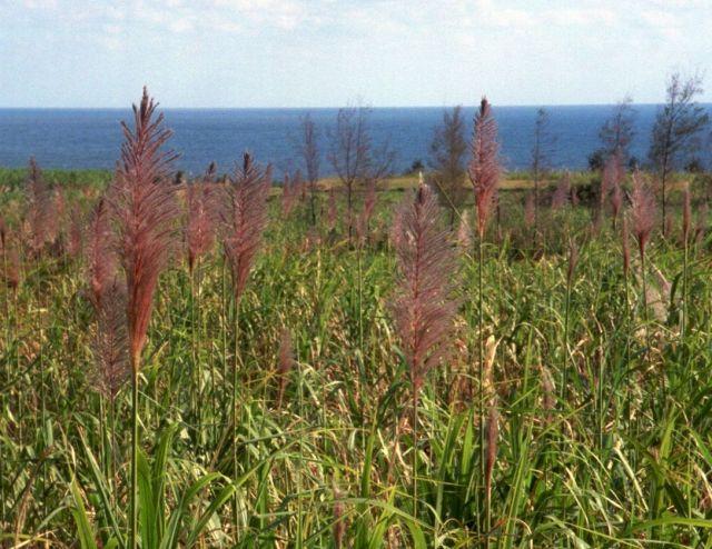 風に揺れるサトウキビの花=鹿児島県・沖永良部島の知名町で