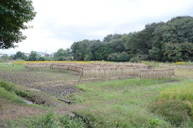 稲刈りが進む新しき村の田んぼ=2018年10月