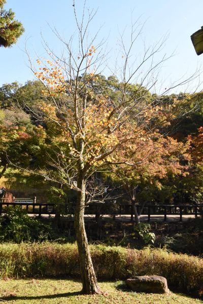 木の全体はこちらです。東山動植物園のカツラの葉はすでに散ってしまいました(写真は11月上旬時点)