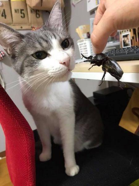 カブトムシを見つめる猫パレオ