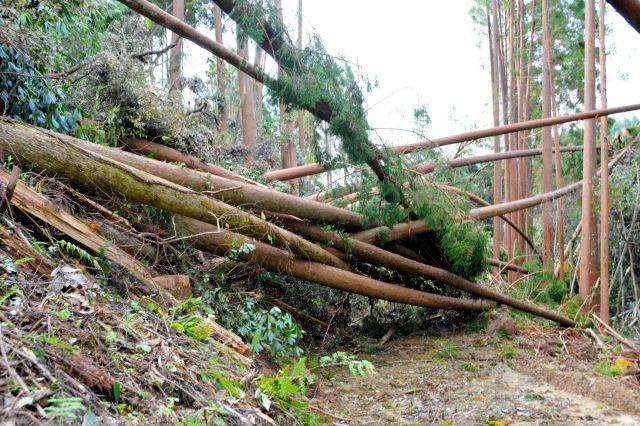 9月に被害が発覚した山林。山肌がむき出しになり、台風の雨風で残っていた木も倒れた=2018年10月10日、宮崎県国富町