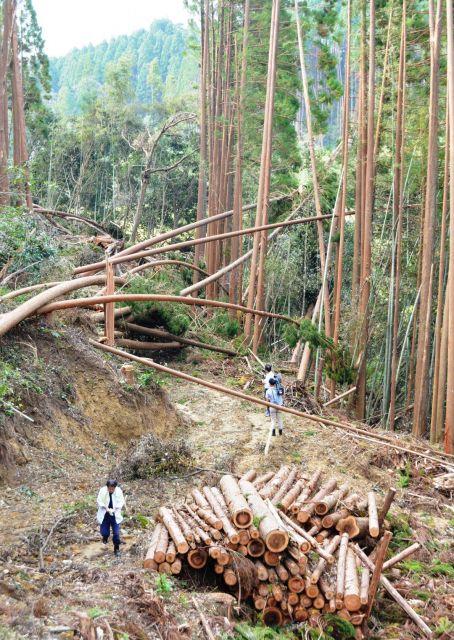 9月に被害が発覚した山林。伐採用の重機が通る林道が勝手につくられ、切られた木は丸太になって積まれていた=2018年10月10日、宮崎県国富町
