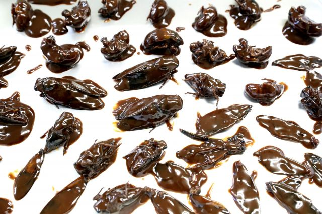 生クリームとミルクチョコでコーティングされたセミの幼虫と成虫=名古屋市内、吉本美奈子撮影