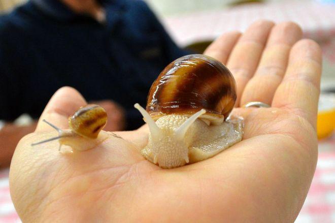 ポマティア種の成貝と稚貝。手のひらをかじられ、少しくすぐったい=三重県松阪市のエスカルゴ牧場、杉浦幹治撮影
