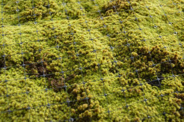 スナゴケのアップ。水を含むと、葉が鮮やかに。星のような形になる
