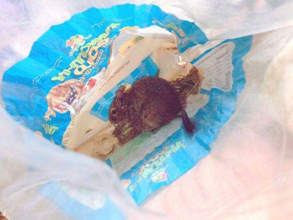 好物であるイネ科の草・チモシーをつまみ食い