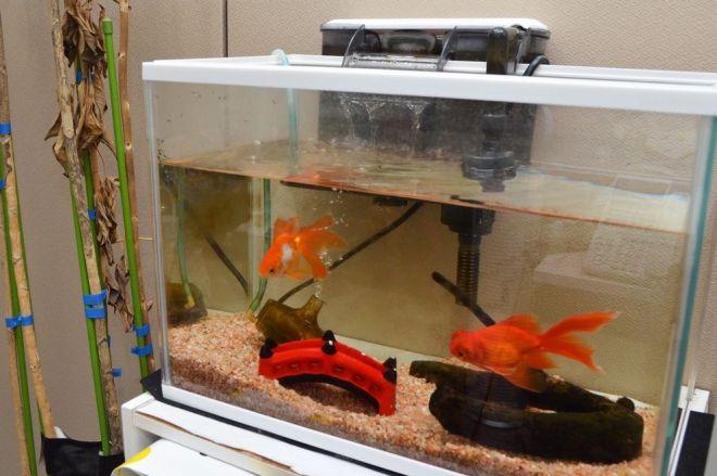 スタッフルームには過去の番組で使った金魚も