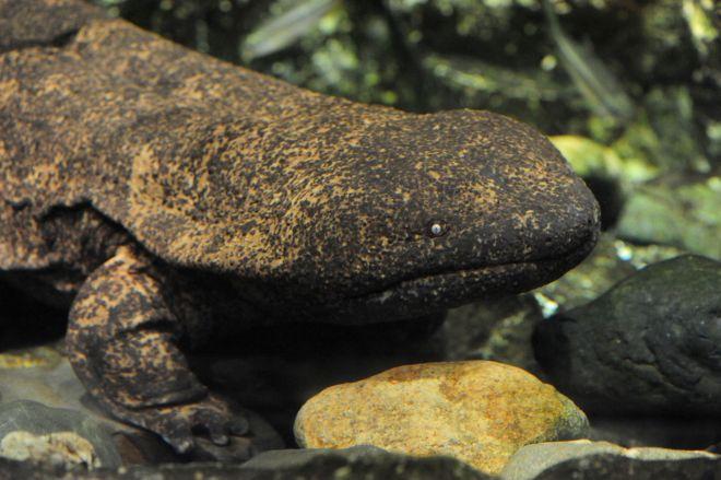 京都水族館で飼育されているオオサンショウウオ
