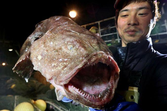 水揚げされたばかりのアンコウ=2017年12月27日、山口県下関市、金子淳撮影