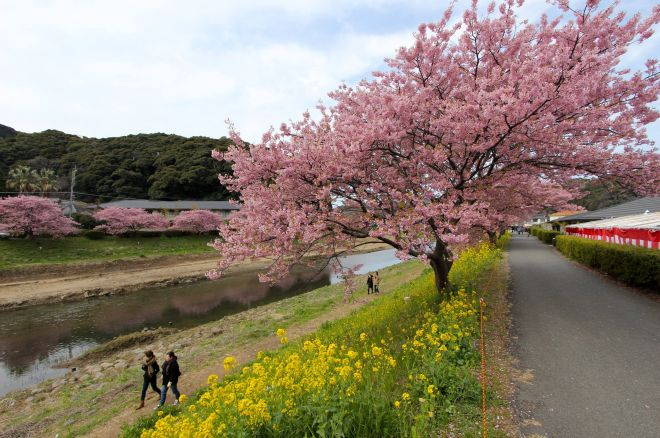 約800本の河津桜の並木が続く