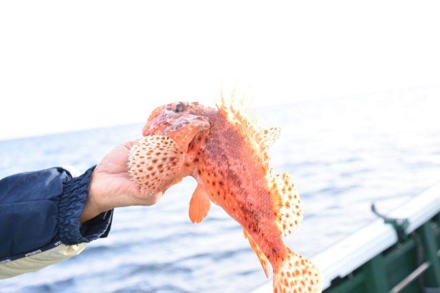 やっと釣り上げた大物、オニカサゴ