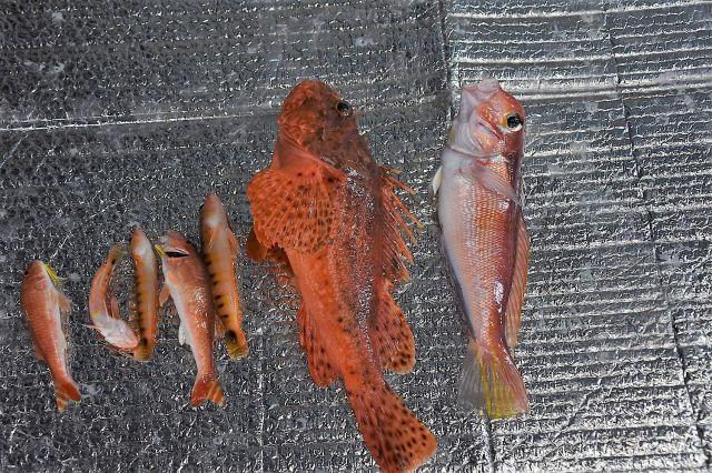 この日の釣果。自分で釣り上げたのは中央のオニカサゴと小さなベラ1匹。残りは船長さんにいただきました