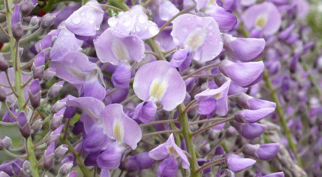 花を咲かせた大藤=あしかがフラワーパーク提供