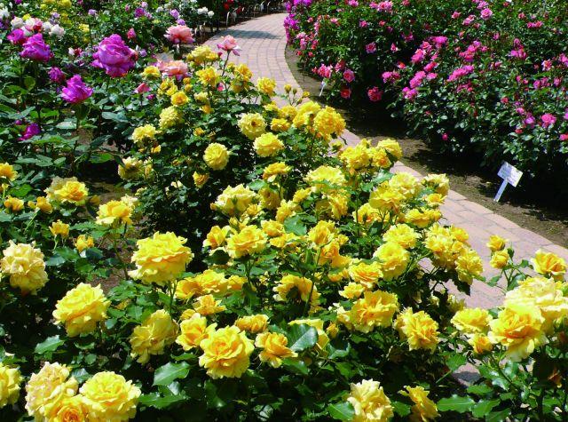 咲き誇るバラ=あしかがフラワーパーク提供