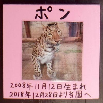 大牟田市動物園で飼育されているアムールヒョウの「ポン」