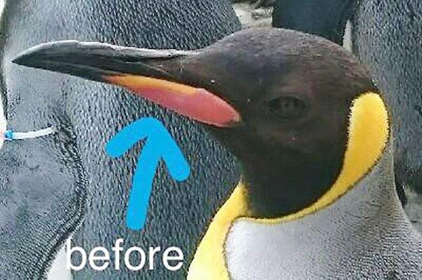 くちばしのオレンジ色の部分がはがれる前のキングペンギン