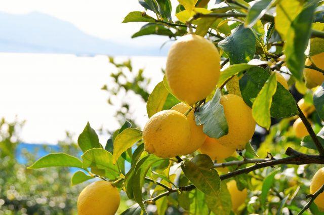 レモンは瀬戸内の海を見ながら育つ=広島県尾道市瀬戸田町