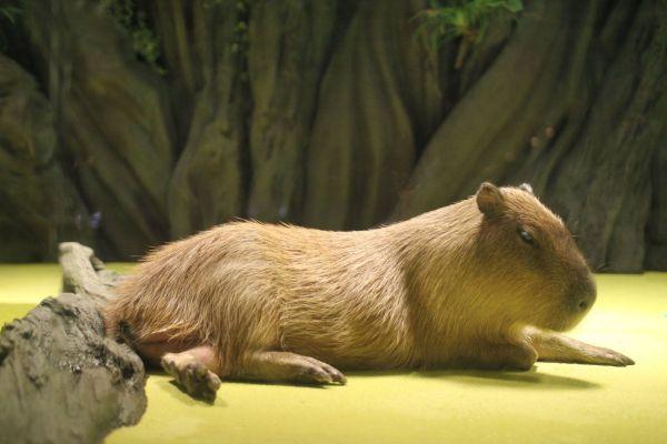 竹島水族館で飼育されているカピバラ