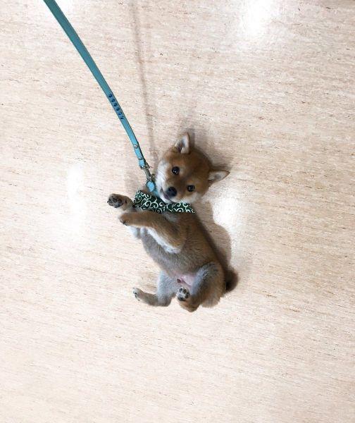 ストラップみたいな柴犬「りんご郎」。生後3カ月ごろに撮影した写真です