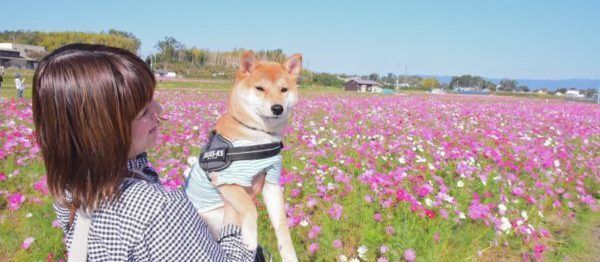 柴犬「りんご郎」