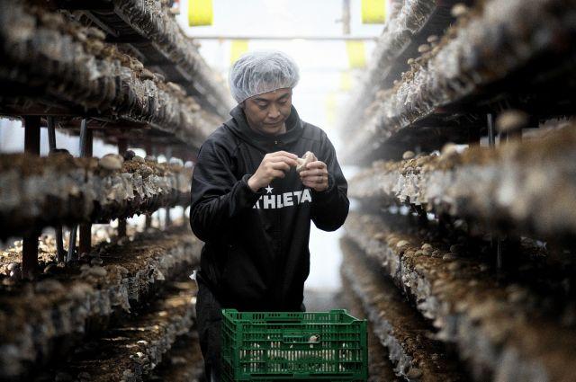 菌床からのびた八色しいたけをひとつひとつ収穫する駒形永幸さん。キャッチコピーは「厚いにも、ほどがある」だ=新潟県南魚沼市、村上健撮影