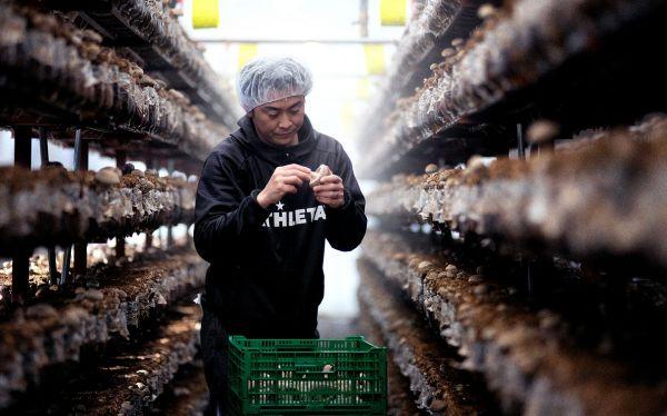 八色しいたけを栽培する駒形永幸さん=新潟県南魚沼市、村上健撮影