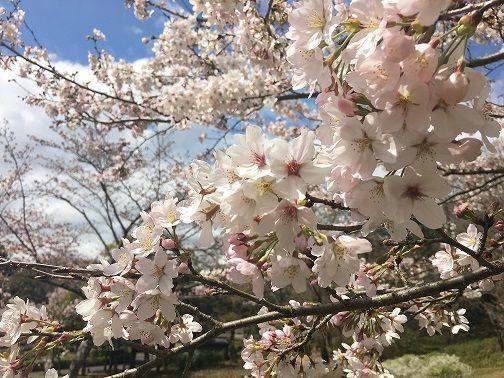 大和民俗公園の桜