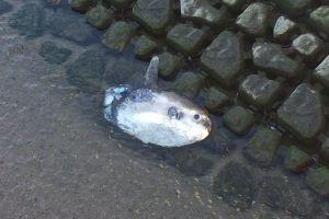 「福岡の川にマンボウが…」話題になった個体のいま 解剖調査を取材