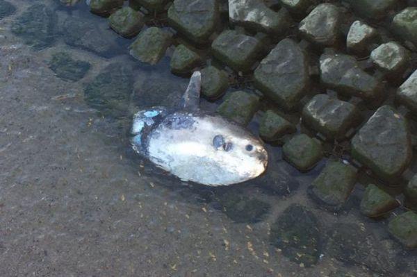 2018年の年末に福岡の樋井川で発見されたヤリマンボウ