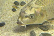 鳥羽水族館に展示されている「人面魚」