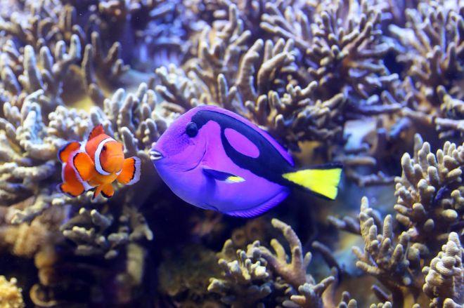 ディズニー映画で一躍有名となったカクレクマノミ(左)とナンヨウハギ(右)