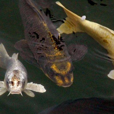 2008年、山口県庁前の堀で撮影された「人面魚」