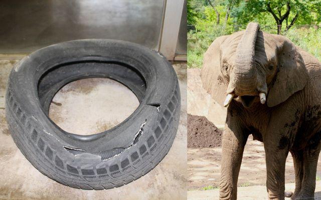 アフリカゾウの「マオ」と、遊び道具のタイヤ。来園者には、切り取られた一部がプレゼントされる。