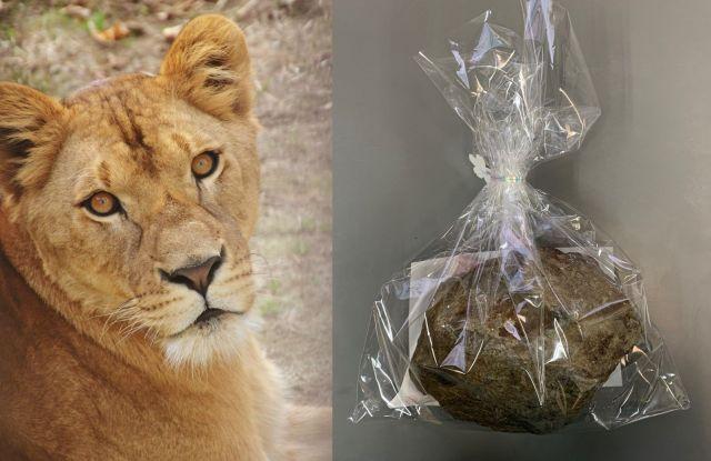 ライオンの「プリンセス」と、お気に入りの石。