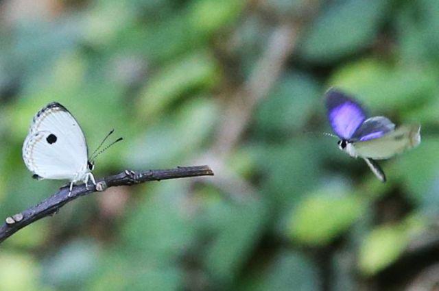 枝に止まっているツシマウラボシシジミのメス(左)に興味を示すオス=2019年4月18日、東京都足立区の足立区生物園、竹谷俊之撮影