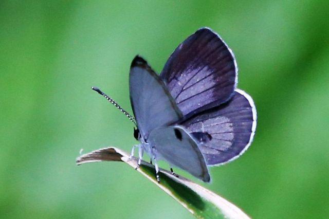 ツシマウラボシシジミは羽の裏側に黒い斑点が一つあり、オスの羽の表側は青みがかっている=2019年4月15日、東京都足立区の足立区生物園、竹谷俊之撮影