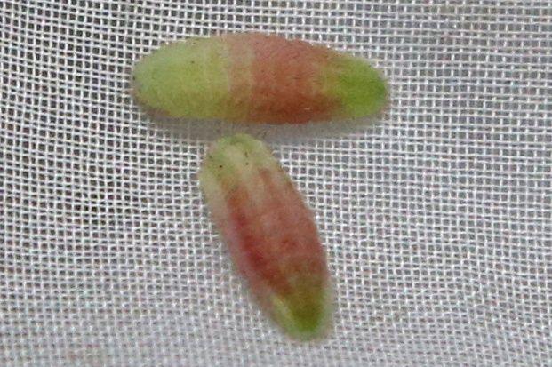 色鮮やかなツシマウラボシシジミの幼虫=2019年4月18日、東京都足立区の足立区生物園、竹谷俊之撮影