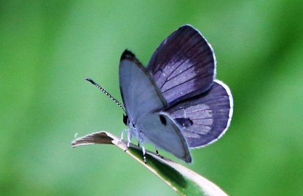 ツシマウラボシシジミは羽の裏側に黒い斑点が一つあり、オスは羽の表側がブルーに染まっている=2019年4月15日、東京都足立区の足立区生物園、竹谷俊之撮影