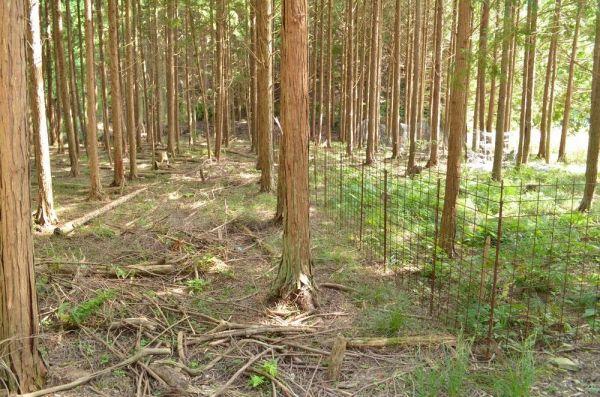 長崎・対馬の状況。写真右側のシカ柵で囲まれた内側では、林床の植物が豊富だが、写真左側はシカに食い尽くされ、ほとんど植物がみられない=長崎県対馬市、日本チョウ類保全協会提供