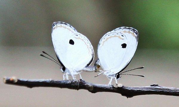 交尾をするツシマウラボシシジミのオス(左)とメス=2019年4月15日、東京都足立区の足立区生物園、竹谷俊之撮影