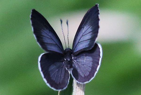 ツシマウラボシシジミのオスは羽の表側が光の加減で青っぽく見える=2019年4月15日、東京都足立区の足立区生物園、竹谷俊之撮影